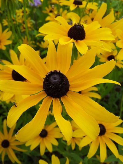Blackeyed Susan yellow flowers Flowers Flowers_collection EyeEm Best Shots - Flowers Flowers,Plants & Garden Nature On Your Doorstep Nature Beautiful Nature Nature_collection EyeEm Nature Lover Taking Photos Close-up Close Up Flower Head Flower Photography Flower Stem Flower Yellow Flower Yellow Flower Collection Plants And Flowers Flowers, Nature And Beauty Nature Photography Plants 🌱 Plant Photography Color Photography