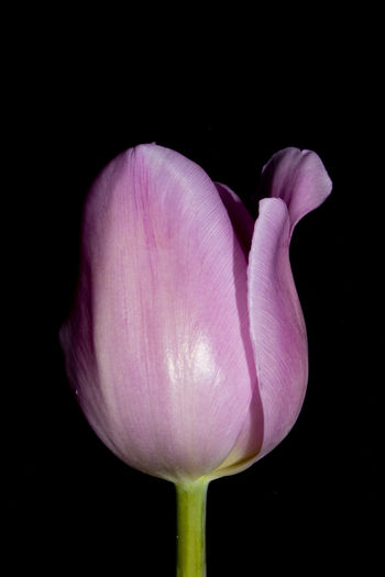 Close-up of pink tulip against black background