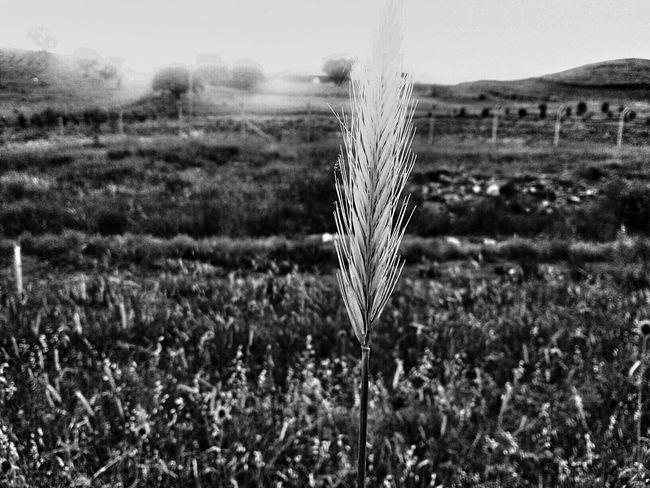 Kurdish Kurdistan Hawler Grass