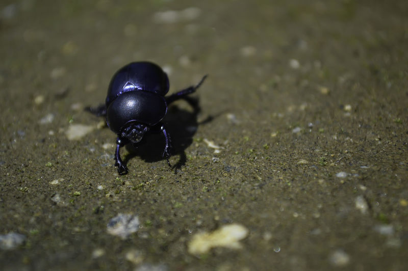Macro Beetle Eye Animal Themes Animal Wildlife Animals In The Wild Beetle On Sand Black Color Blue Beetle Close-up Day Insect Macro Nature No People Olivine One Animal Outdoors Steel Blue Steel Blue Beetle Trycopocris Beetle