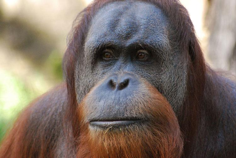 Close-up portrait of a gorilla against blurred background