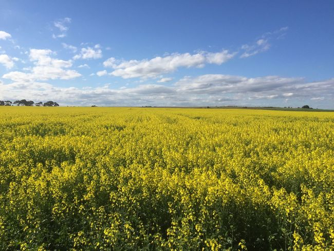 Plains of Victoria Yellow Field Crop  Beauty In Nature Flower Tranquil Scene Growth