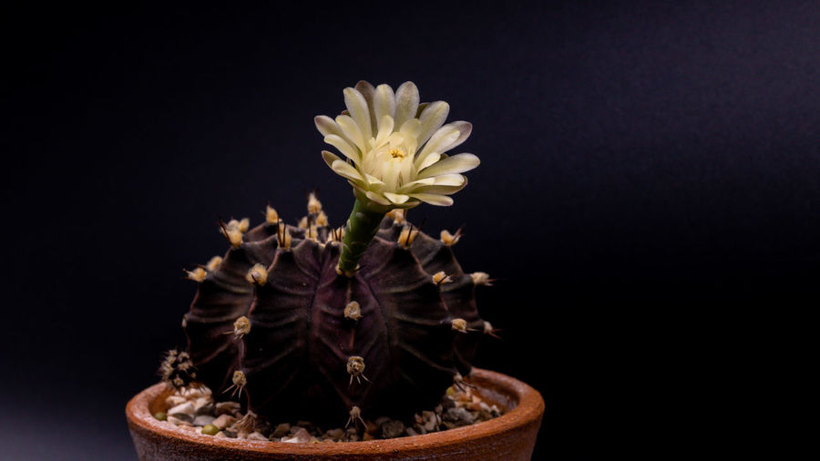 Beautiful Gymnocalycium mihanovichii with flower cactus or Ruby Ball cacti on pot on isolate black background. Plant Growth Beauty In Nature Close-up Nature Studio Shot No People Black Background Cacti Cactus Cactus Flower Isolated Black Background Flower Thorn Sharp Beautiful Close Up Bud Petal Blooming Gymnocalycium Mihanovichii Gymnocalycium Variegata Ruby Ball Prickly Spike Sprout Growth Succulent Plant Thorny Nature Plant Lifestyles