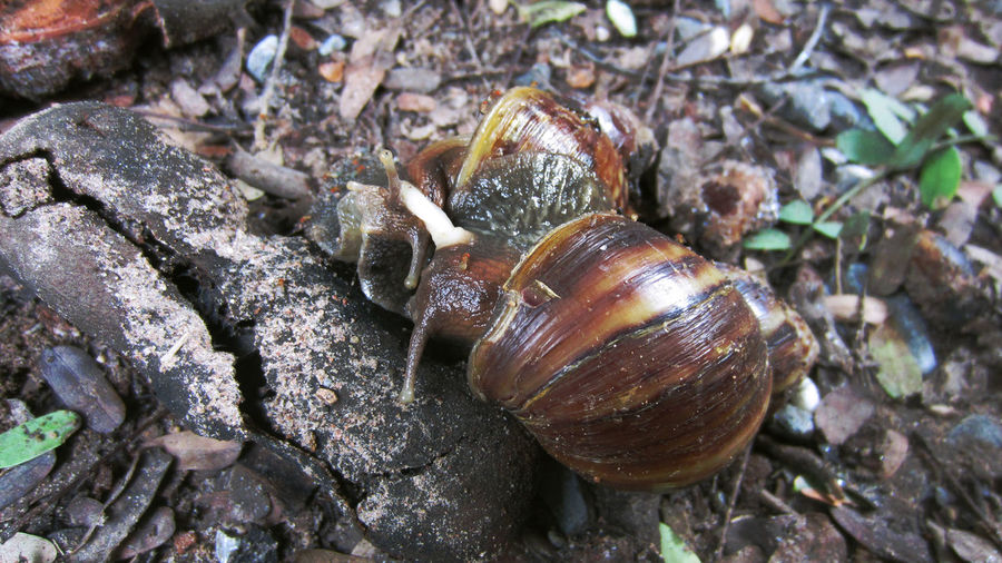 Mating Snail
