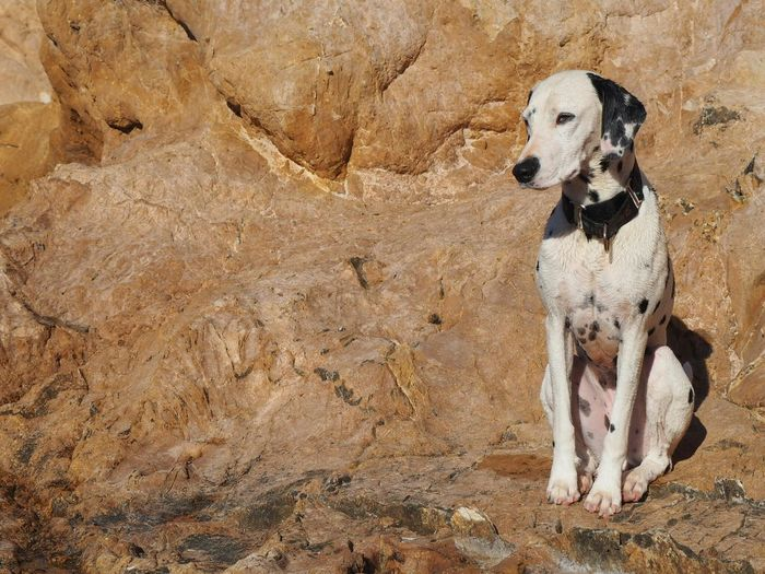Bel.la Domestic Animals Dog Pets Animal Themes One Animal Front View Zoology Animal Loyalty Dalmation Dalmatians Dalmatian Dogs Dogs Of EyeEm Pet Portraits