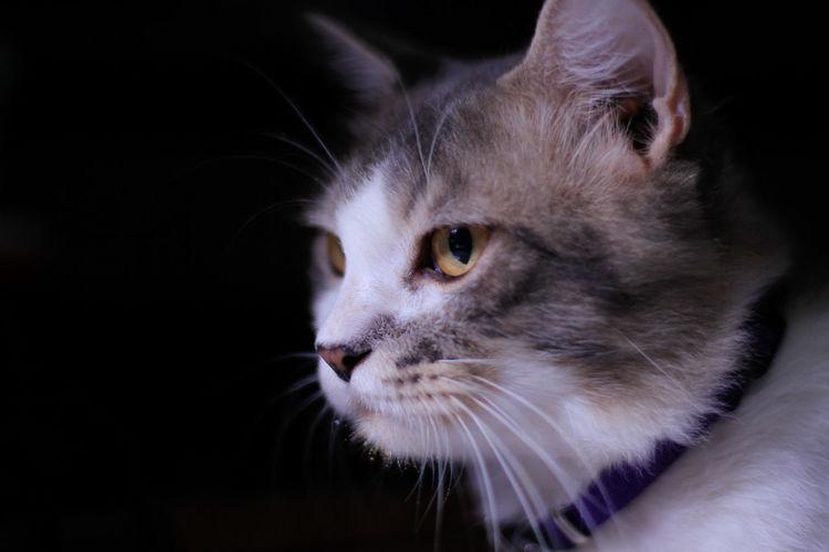 Persia Cat Cat Persian Cat  Cat Lovers Black Background Pets Feline Whisker Cute Eye Animal Hair Ear