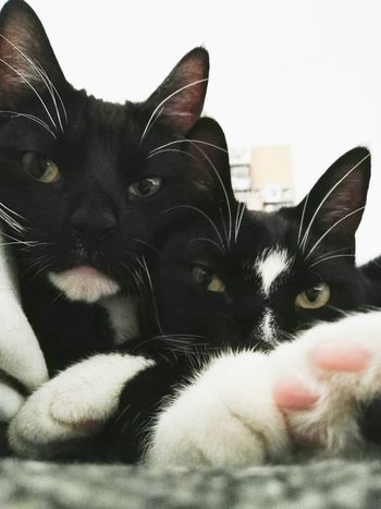 Link & Sniff 😺 Looking At Camera Family Portrait TwoIsBetterThanOne Animal Themes Domestic Cat Close-up Portrait Looking At Camera Cat Purr Animal Portrait Animal Photography Blackandwhite Pets Watching LikeFatherLikeSon Zoology Front View Animalportrait At Home Domestic Animals