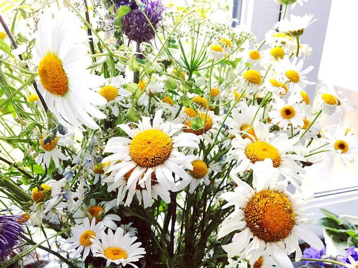 Ромашки Nature Flowers