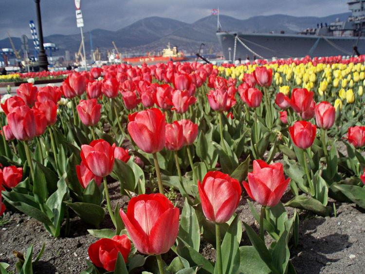 April City Cruiser Mikhail Kutuzov Flower Bed Flowers Gloomy Day Novorossiysk Tulips Quay Red & Yellow Sea Spring Spring Flowers Street Tranquil Days Tranquil Live Tulips Urban Spring Fever
