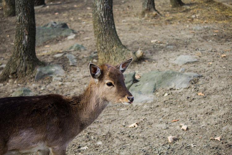 Deer Bambi Doe