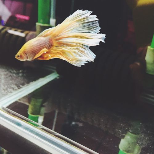 Betta  Betta Fish Bettafish Fishlover Golden Tail Fluffy Fishtail  Taichung Taichung City Taichung, Taiwan