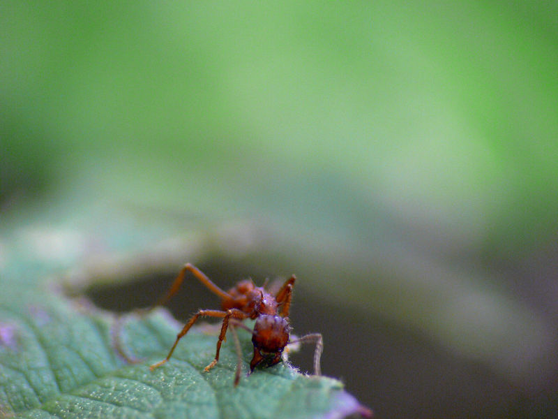 Ants Costa Rica Macro Photography Acromyrmex Coronatus Animal Wildlife Close-up Insect Photography Leafcutter Ants Pet Portraits