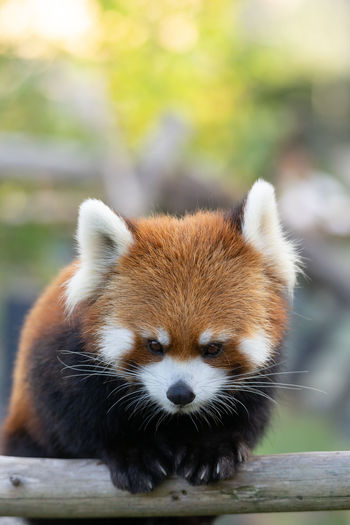 Animal Animal Body Part Animal Head  Animal Themes Animal Wildlife Animals In Captivity Animals In The Wild Bamboo - Plant Close-up Day Focus On Foreground Looking Mammal Nature No People One Animal Outdoors Panda - Animal Portrait Red Panda Vertebrate Whisker Wood - Material