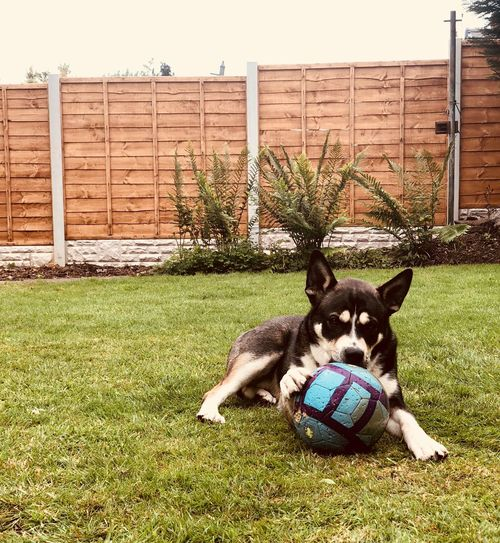 Dog Chews Domestic Pets Domestic Animals Mammal Animal Themes One Animal Animal Front Or Back Yard Plant Sport Day No People Relaxation Field Dog Vertebrate Grass Ball Nature Canine