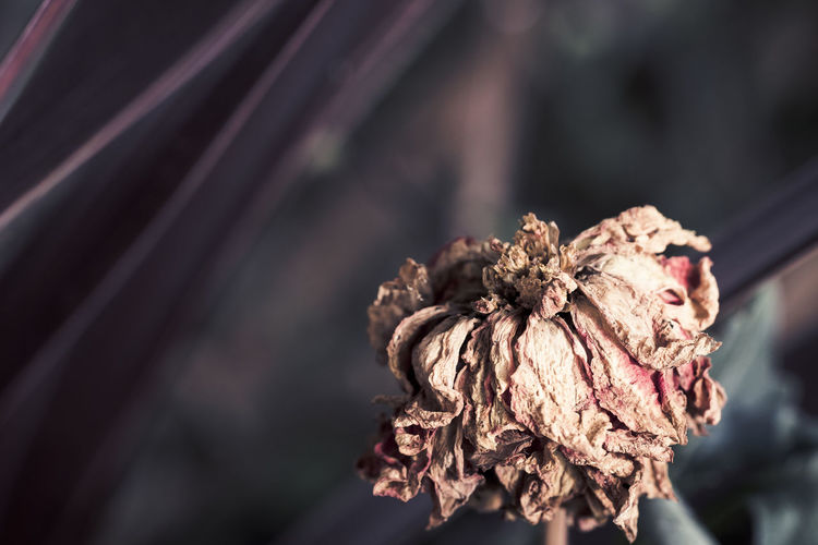 Withered flower - The Week Of Eyeem Dark Drastic Edit EVERYTHING THAT HAS A BEGINNING HAS AN END Exceptional Photographs EyeEm Gallery EyeEmNewHere Nature Plant Withered Flower Close-up Day Dead Plant Decoration Dried Plant Dry Flower Flower Head Focus On Foreground Fragility No People Outdoors Petal Selective Focus Wilted Plant Withered Beauty