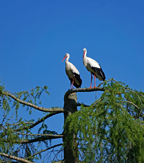 Vögel/Birds Animal Animal Themes Animal Wildlife Animals In The Wild Bird Blue Branch Clear Sky Copy Space Day Group Of Animals Low Angle View Nature No People Outdoors Perching Plant Sky Stork Tree Two Animals Vertebrate