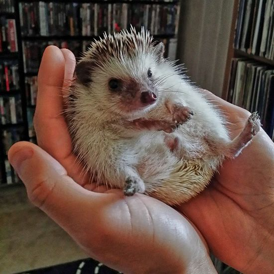Thanks to @willsmith1978 for letting me see his cute little rescued Hedgehog Luna yesterday