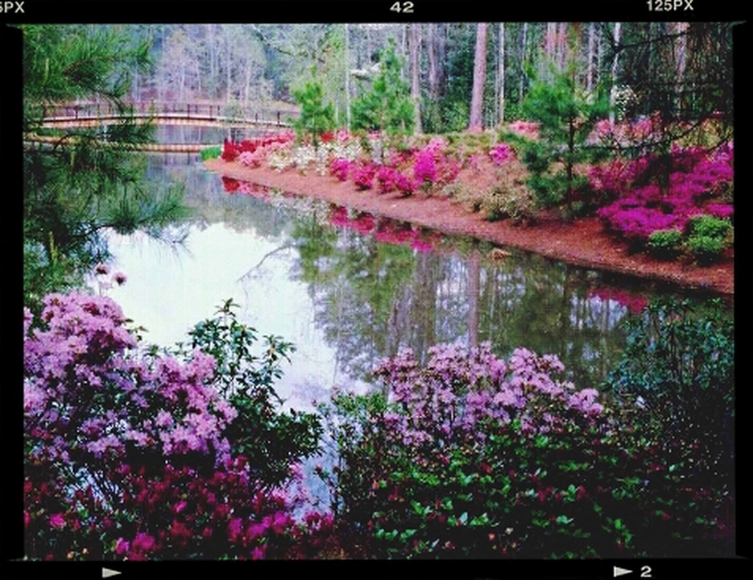 flower, transfer print, water, beauty in nature, growth, auto post production filter, lake, freshness, nature, tree, reflection, pink color, pond, plant, fragility, tranquility, blooming, petal, river, day