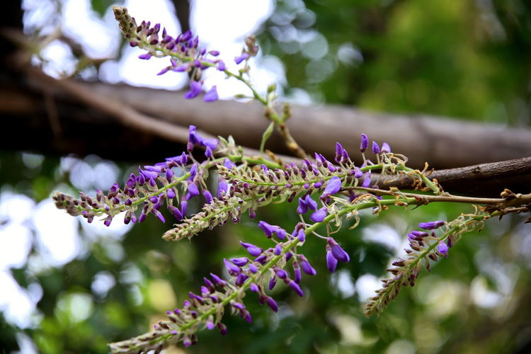 Wisteria flowers on the wooden pergola, with bokeh effect