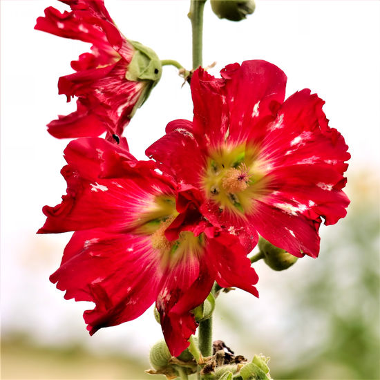 EyeEmNewHere Stockrose Bauernrose🌸 Beauty In Nature Close-up Day Flower Flower Head Focus On Foreground Fragility Freshness Growth Hibiscus Nature No People Outdoors Petal Plant Red Stamen