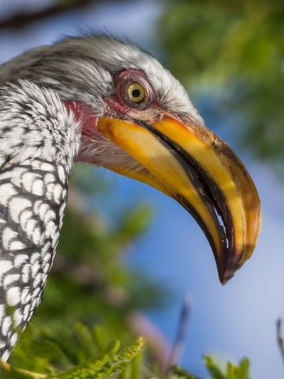 Close-Up Portrait Of Colorful Hornbill Bird, Botswana, Africa