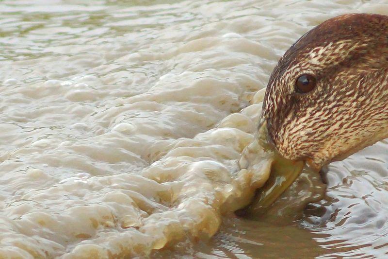 Thirsty duck . Balaton Lake. Hungary.