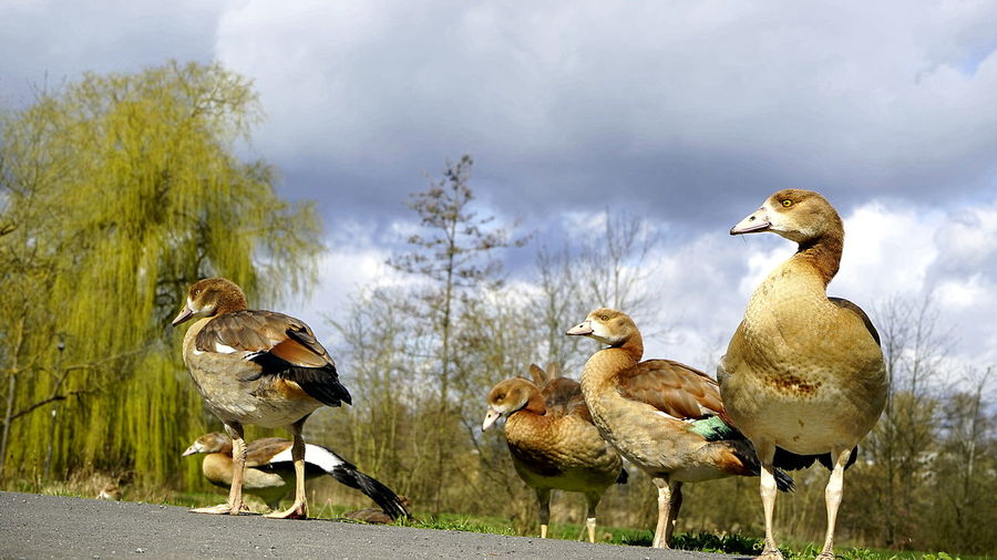 View of an egyptian goose family