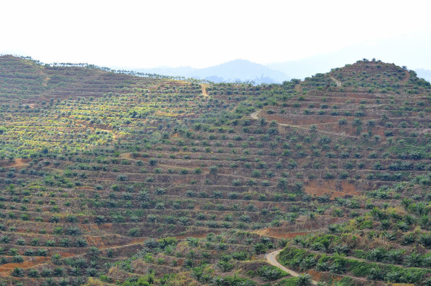 replanting baby oil palm tree at the hillside Agriculture Beauty In Nature Clear Sky Deforestation Farm Growth Landscape Mountain Nature No People Oil Oil Palm Oil Palm Trees Palm Tree Plantation Replanting Rural Scene Sky Terraced Field Tree