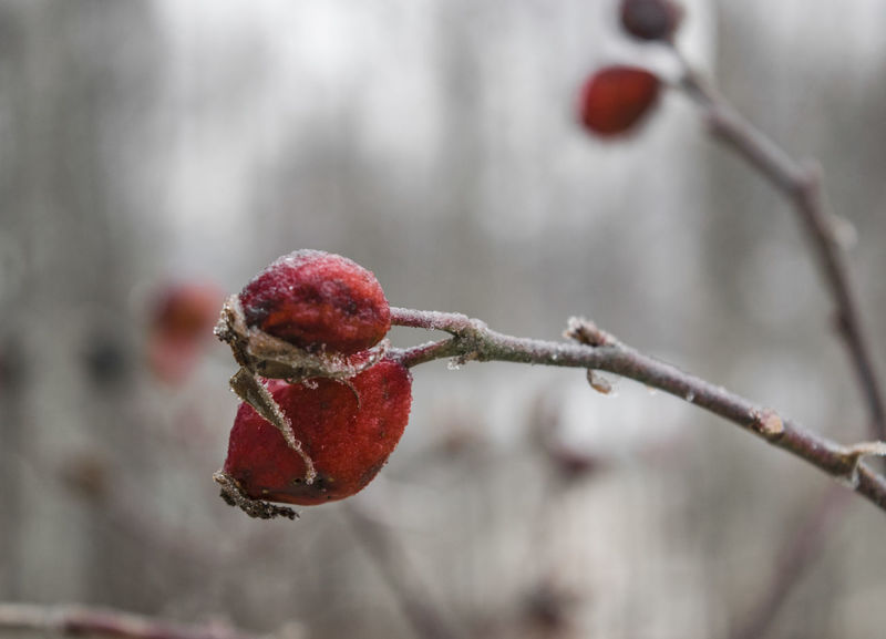 Surviver. Botany Branch Close-up Depth Of Field Dog Rose Eye4photography  EyeEm Best Shots EyeEm Nature Lover Flowers Food And Drink Mountains Nature Nature Photography Nature_collection Naturelovers Red Roses Serbia Wild Wild Flowers Wildflowers Wildlife & Nature Winter Winter Wonderland Wintertime