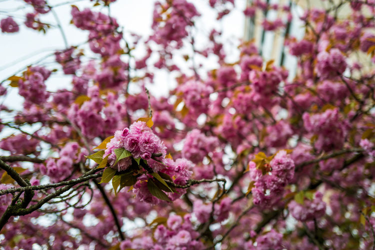 Cherry Blossom Flower Flowering Plant Plant Fragility Growth Vulnerability  Beauty In Nature Freshness Tree Pink Color Springtime Blossom Branch Nature Close-up No People Day Selective Focus Botany Petal Purple Outdoors Flower Head Cherry Blossom Cherry Tree