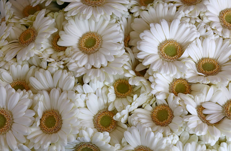 White gerbera Asteraceae family close up background Celebration Flovers Nature Wedding Asteraceae Backgrounds Beauty In Nature Boquet Boquet Of Flowers Close-up Flower Flower Head Fragility Freshness Full Frame Garden Gerbera Gerbera Flower Nature Petal White