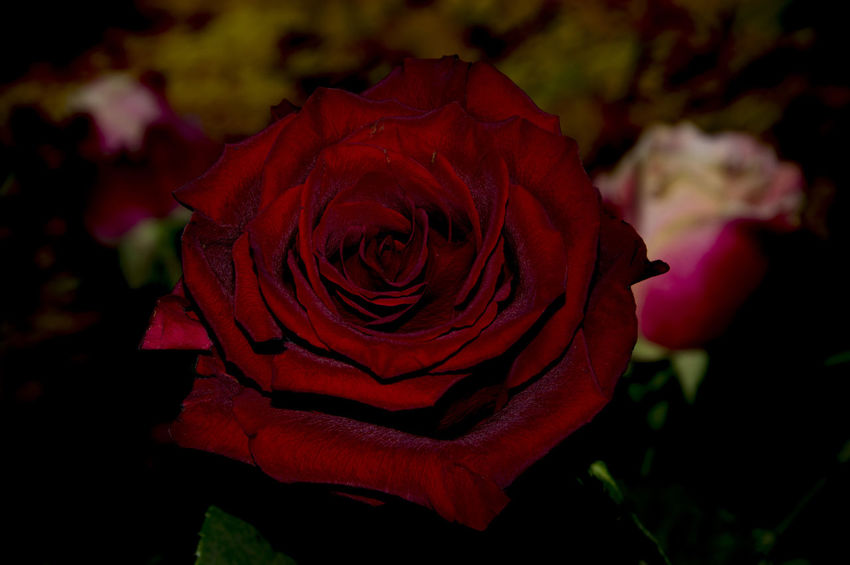 Beauty In Nature Black Boquet Boquet Of Flowers Bright Color Bright Colors Close-up Flower Flower Head Flowers Freshness Horizontal Nature No People Red Rose - Flower Dark Lettercard Postcard Roses Still Life Bokeh Freshness Of Flower Rosé Boquet Of Roses