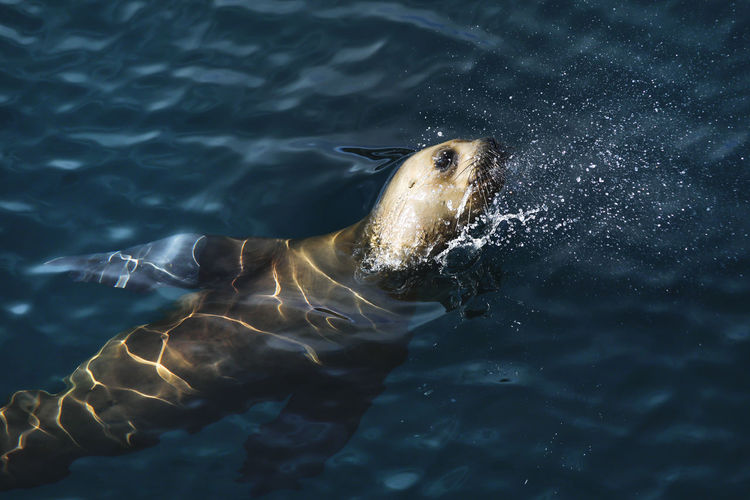 Sea lion swimming in sea, blue water of golfo nuevo, off the valdes peninsula, argentina
