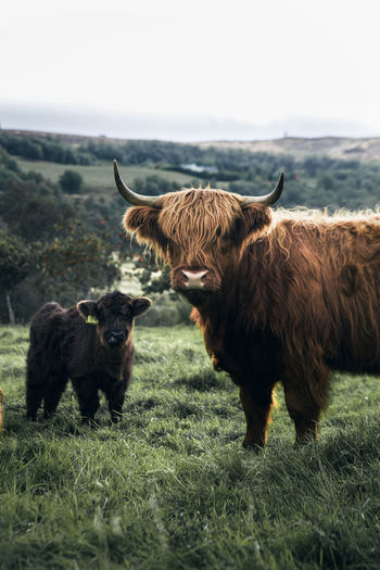 Highland cattles on grassy field