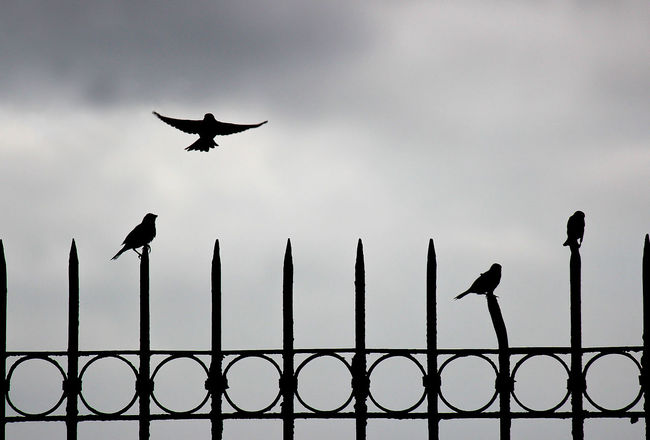 Maya birds on the fence. Cloud Fly Philippines Bird Black And White Photography Blackandwhite Canon Fence Speed Speed Photography Steel