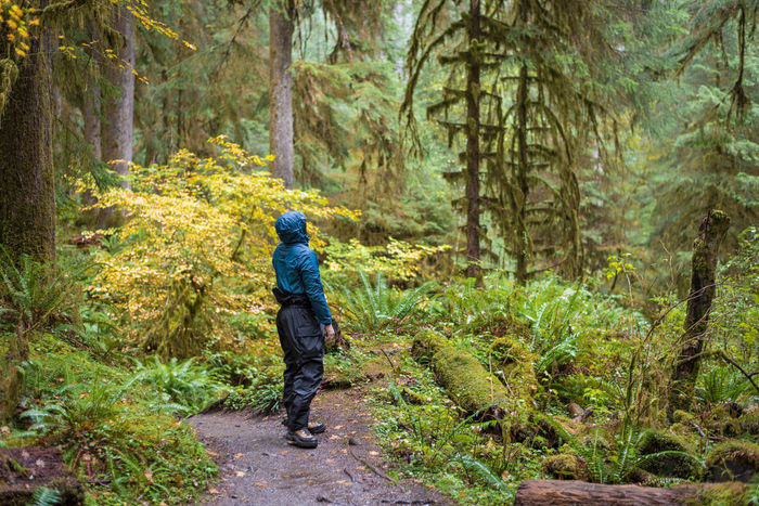 Man curiously hiking through the Hoh Rainforest Adult Adults Only Adventure Beauty In Nature Day Footpath Forest Full Length Green Color Growth Hiking Hoh Rainforest Nature One Person Outdoors People Pine Tree Rain Gear Scenics Tranquil Scene Tranquility Travel Destinations Tree Walking Wet
