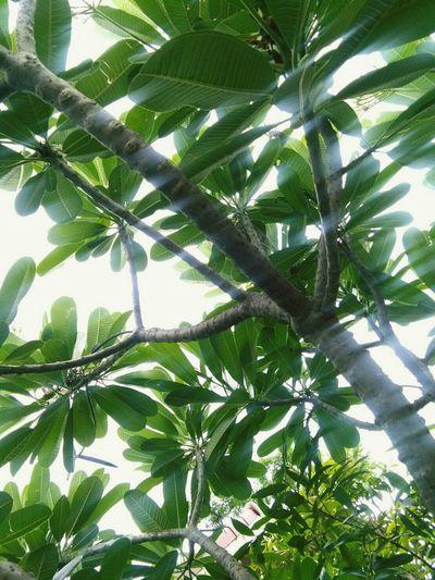 บังเอิญ... Leaf Nature Green Color Tree Growth Plant No People Beauty In Nature Leelawadee Leelawadee Tree EyeEmNewHere EyeEm Best Shots BaiTaEwWorld