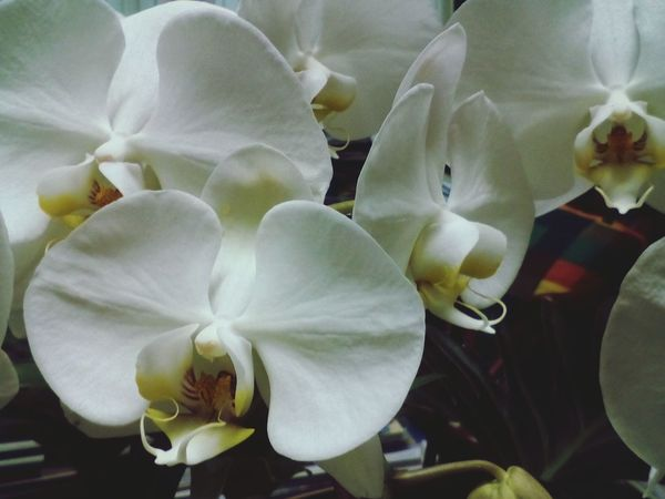 beautiful white orchid Flower Petal Flower Head Nature Close-up Beauty In Nature No People Plant Fragility Growth Water Day Freshness