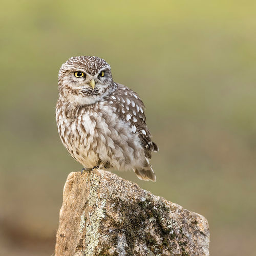 Close-up of owl perching on wooden post