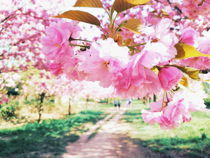 Close-up of pink cherry blossoms in park