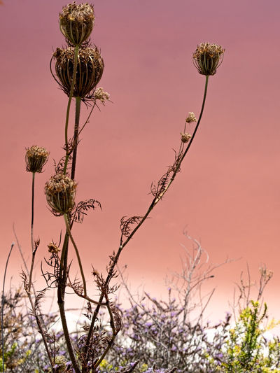 Close-up of wilted plant against sky