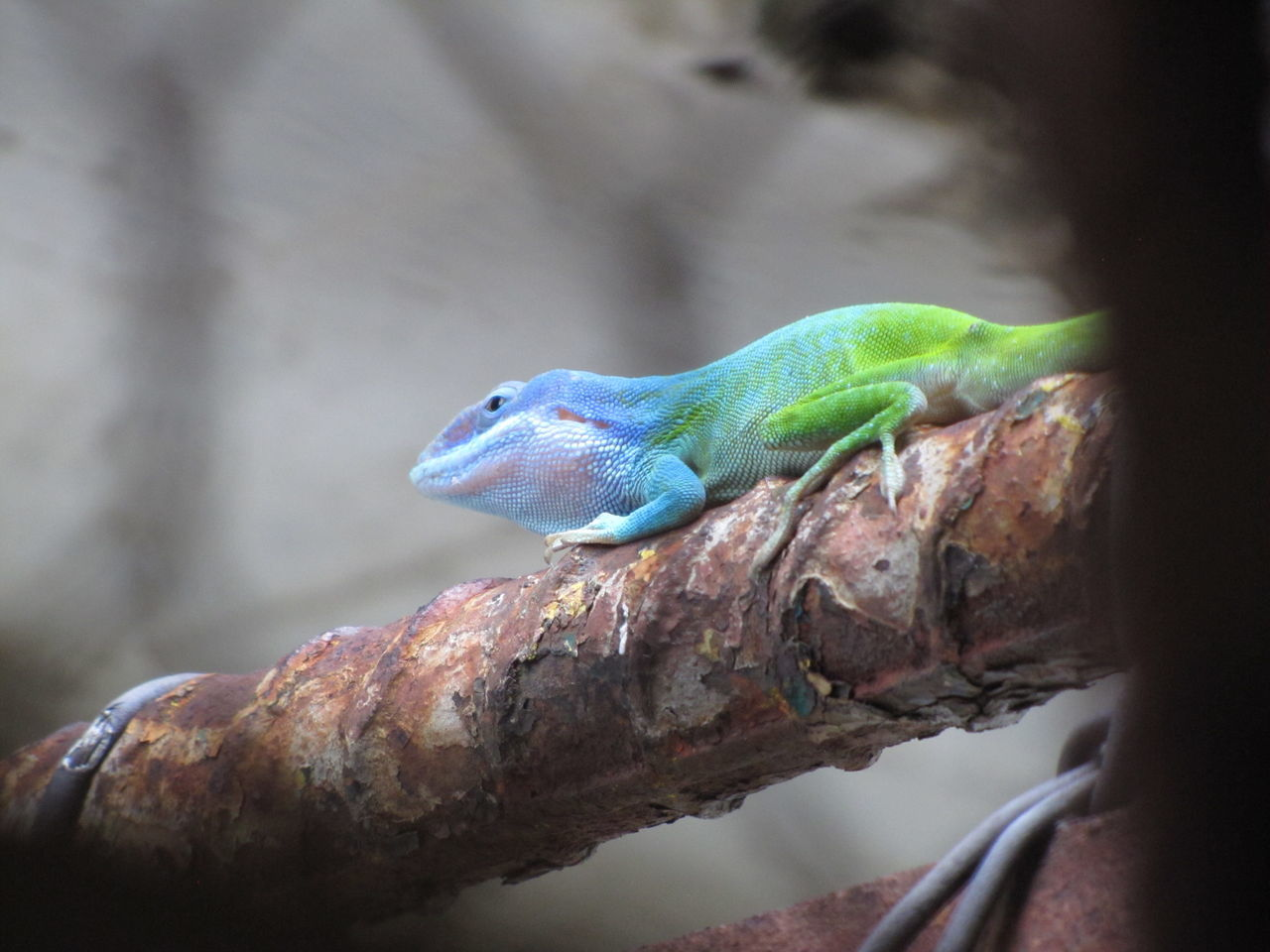 animals in the wild, lizard, one animal, animal themes, animal wildlife, close-up, day, no people, reptile, outdoors, perching, nature, chameleon, branch, bird