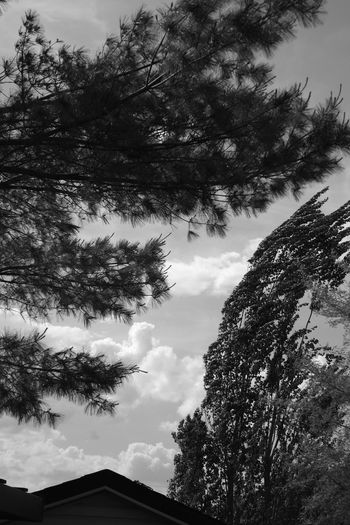 Wind Tree Trees Blowing In The Wind... Massive Tree Getting Inspired In My Backyard Trees And Sky Black & White Black And White Photography B & W  B & W Photography