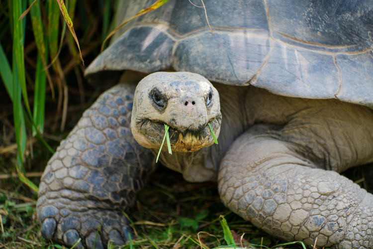 Close-Up Of Tortoise Eating Grass