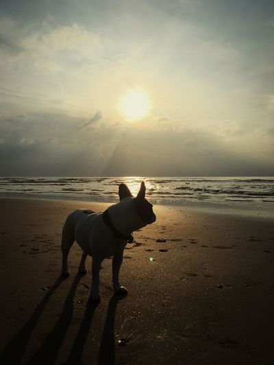 Sea Pets Beach Dog Horizon Over Water Beauty In Nature IPhoneography Iphonephotography Iphoneonly Hunde Summer Silhouette French Bulldog Frenchbulldog French Bulldog Hund Am Meer Hundesilhouette Französische Bulldogge  Scenics Silhouette Tranquility Sunset French Bulldog Watches Sunset Sonnenuntergang Beauty In Nature Pet Portraits