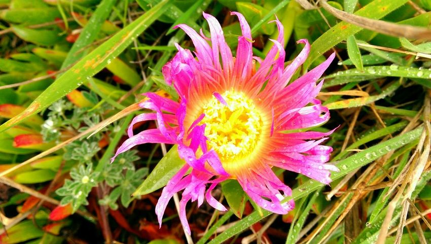 ICE PLANT Succulent Plant Pink Flower Nature Photography