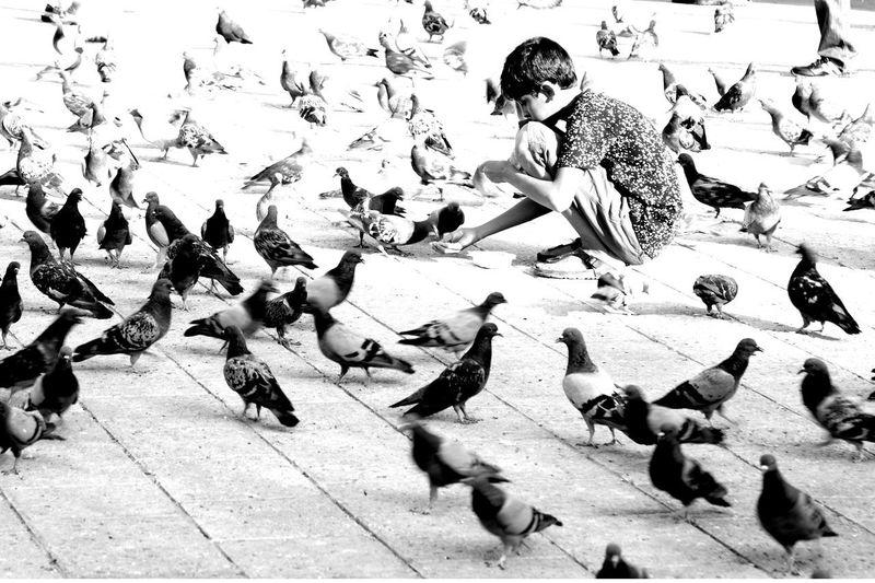 Flock of pigeons feeding