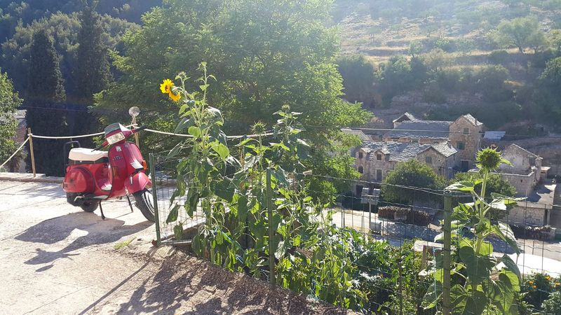 Dol Brac Croatia 500 Years Taverna Day Vacations WOW Sunflower Moped Red Outdoors Summer No People Holiday Old Village