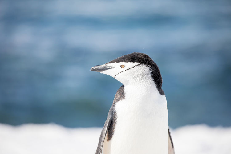 Close-up of penguin against sea during winter