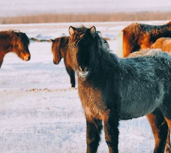 Icelandic horses. Horsesofinstagram Horse Wild Nature Iceland Discovericeland MyStopover Vscocam VSCO Instasize Photography Natgeotravel Natgeo